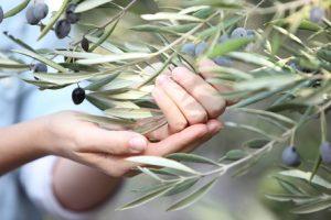 שמן זית (צילום: ניר עצמון)